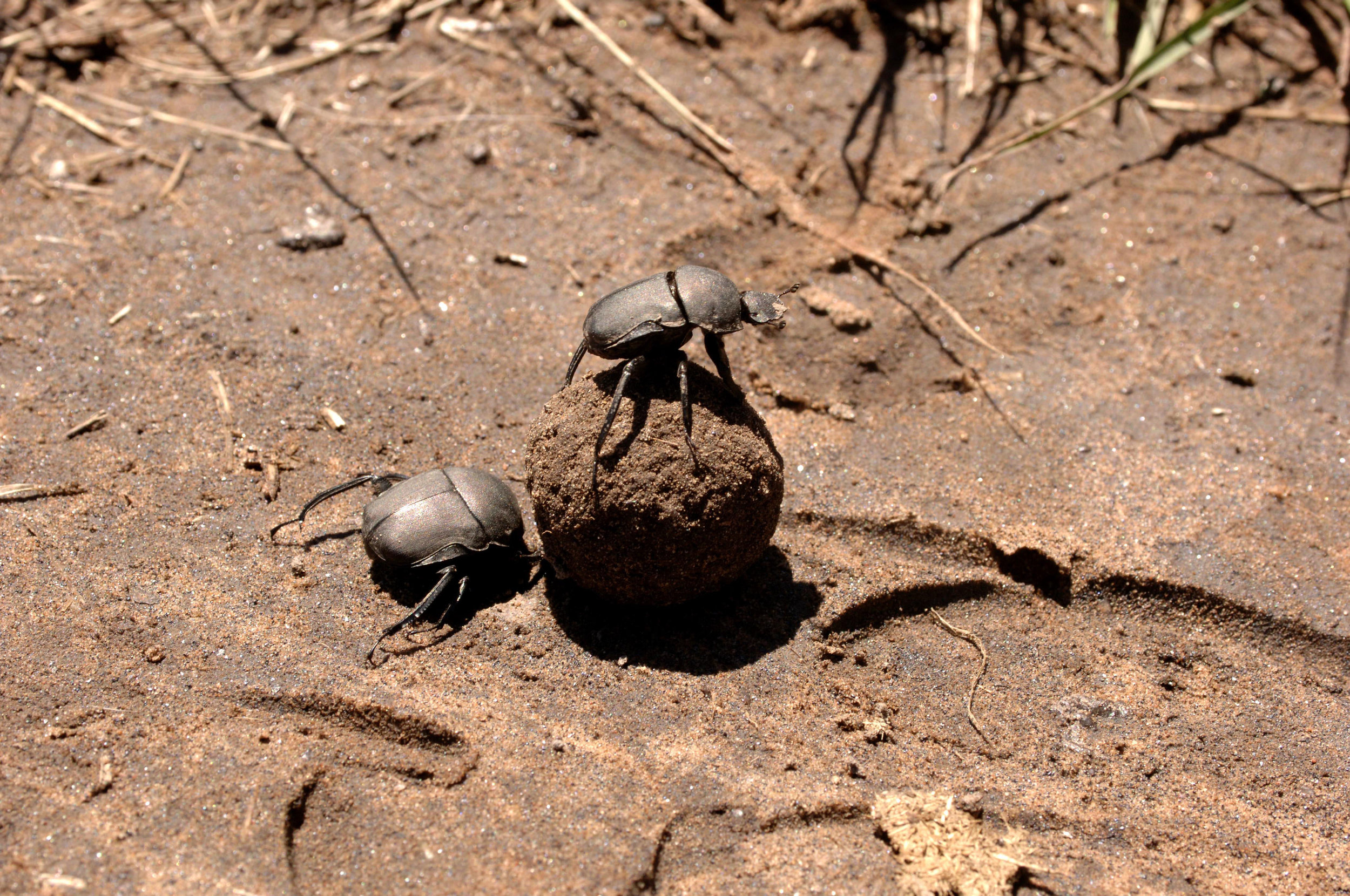 Dung Beetles.jpg