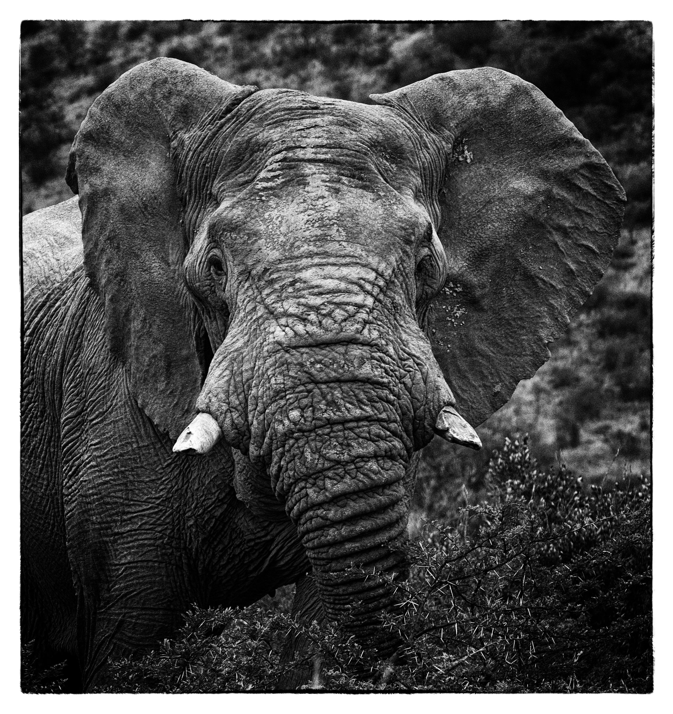 Elephant Face BW.jpg
