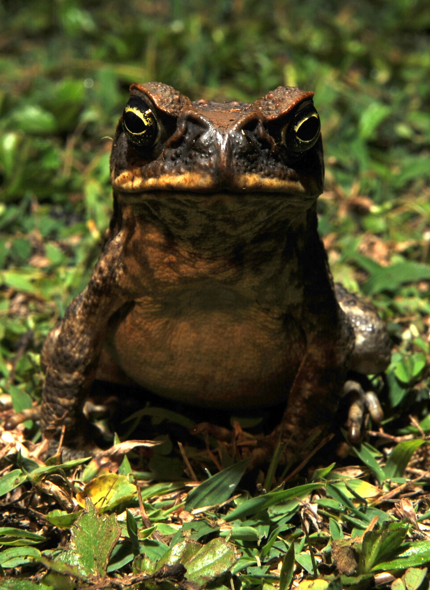 Hawaii Toad 2.jpg
