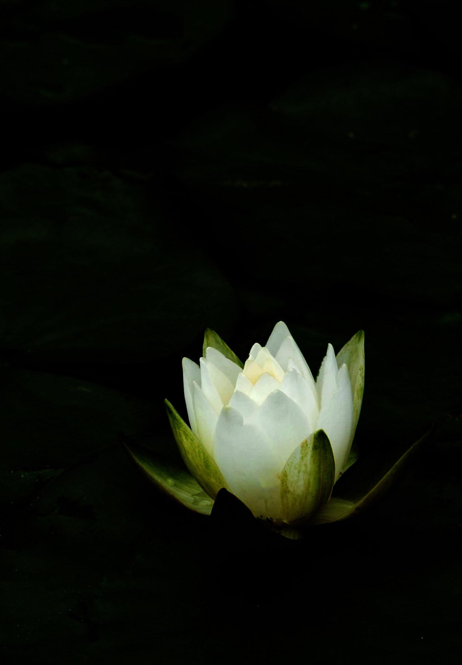 Lily Pad Flower.jpg