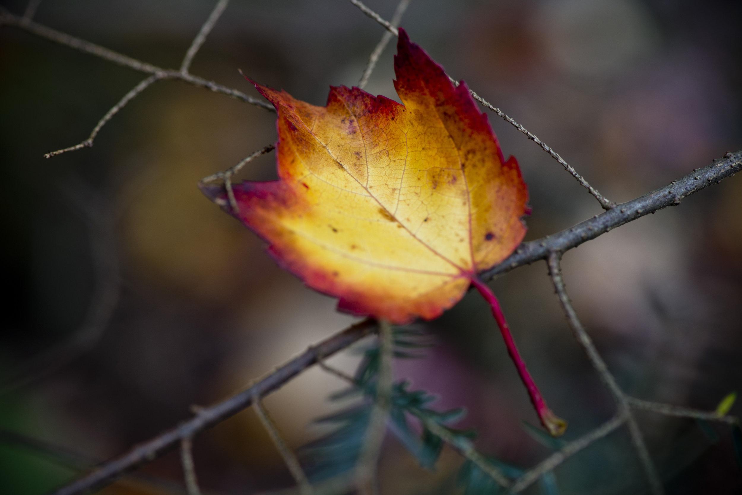 Leaf on Pine Branch.jpg