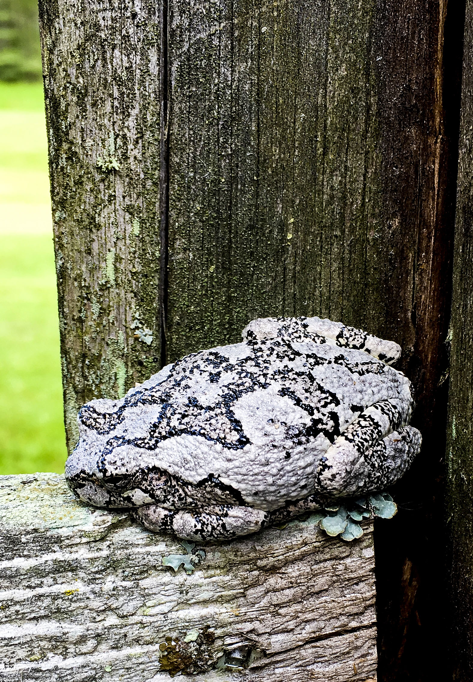 Wood Frog.jpg