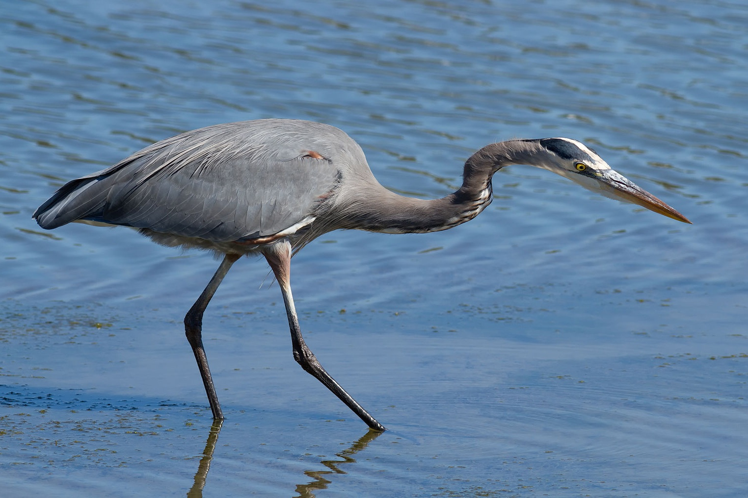 Burrowing Great Blue Heron - JUNE 27/JULY 4/ROAD TRIP - SENIOR