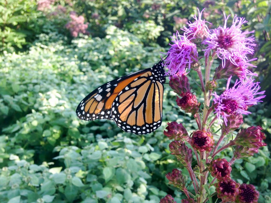 A monarch perched on Liatris aspera, a wildflower endemic to the Midwestern and Eastern US (though not New England).