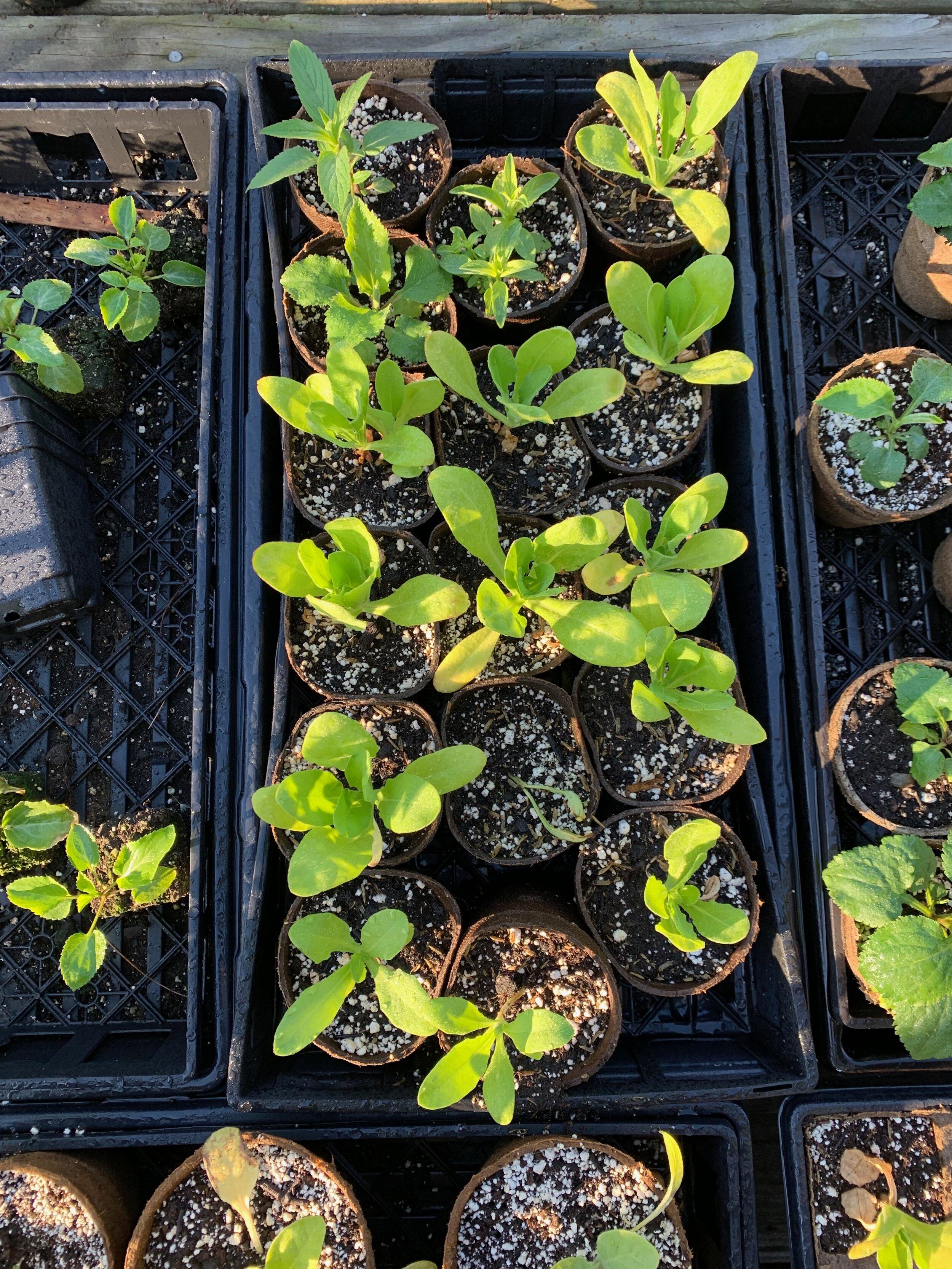2019_06_03_calendula_seedlings.jpg