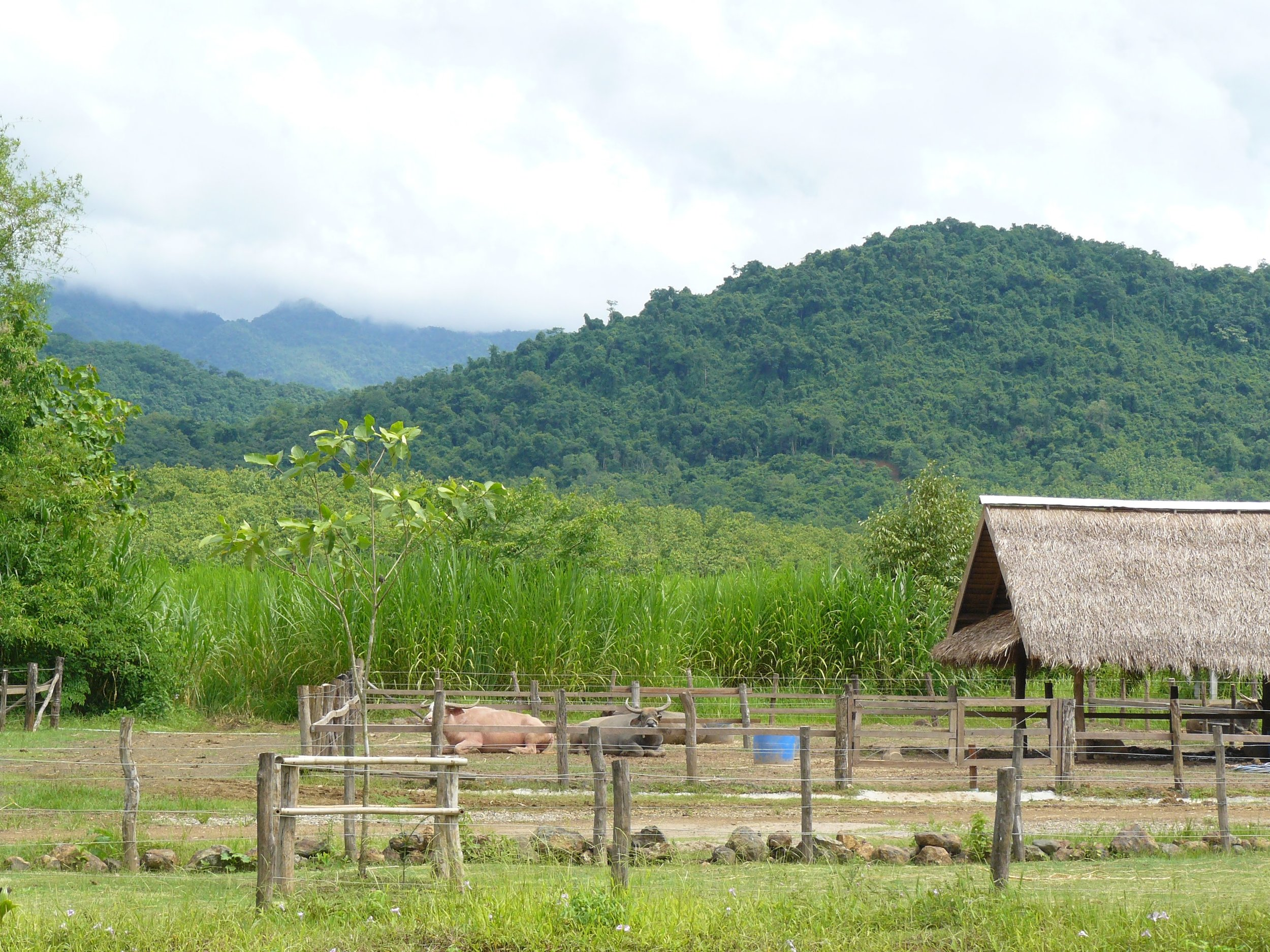 Laos Buffalo Dairy Luang Prabang
