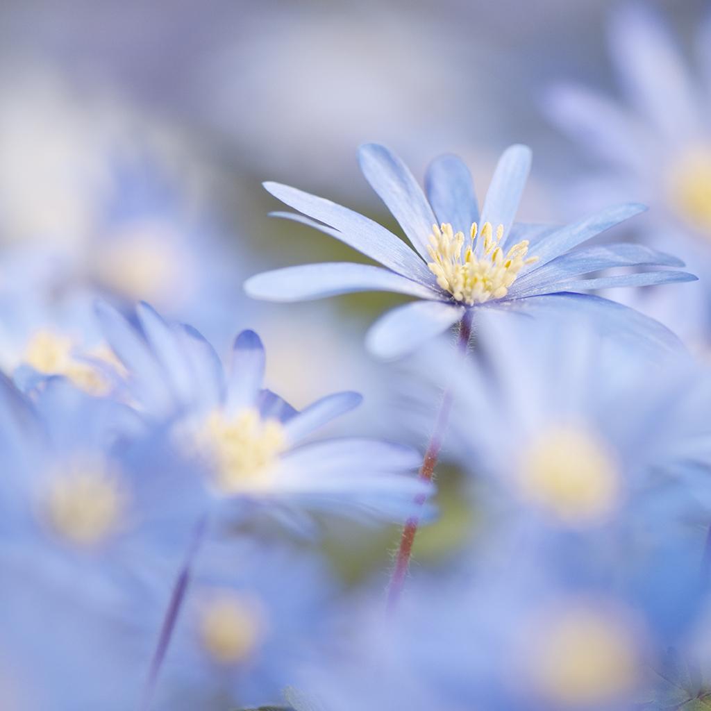 BLUE DAISY V