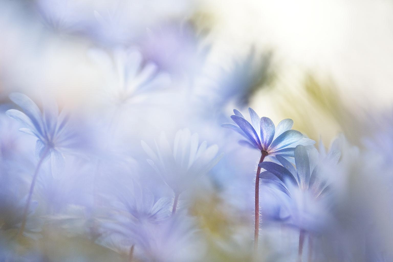 BLUE DAISY VII