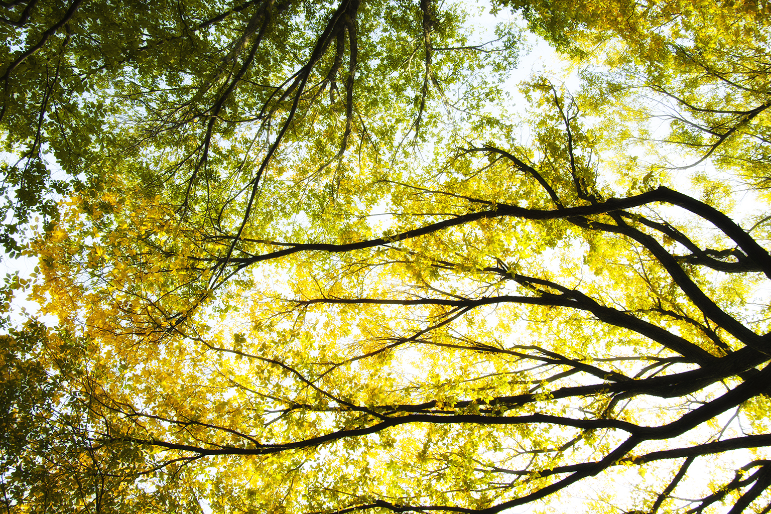 CENTRAL PARK TREES C