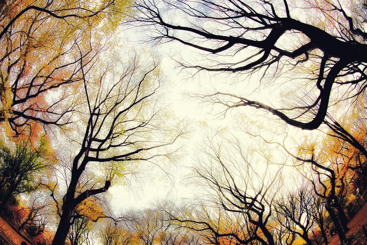 CENTRAL PARK TREES D