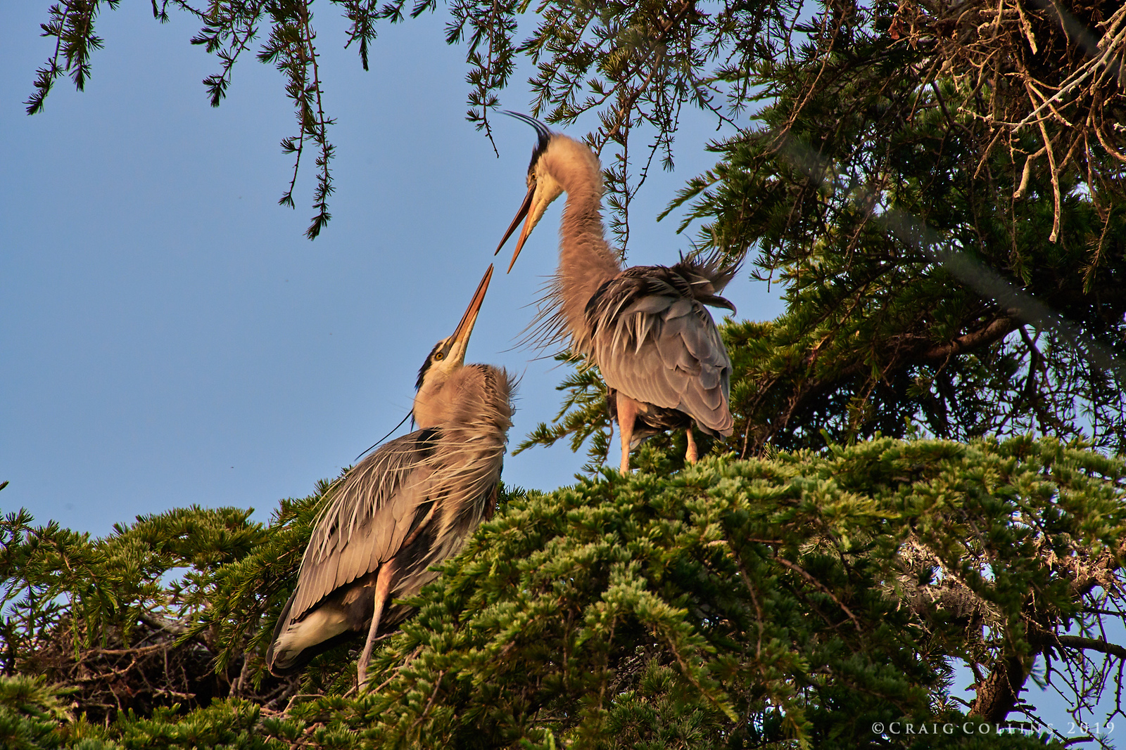Great Blue Herons nesting at the corner of Tesla Avenue and Rokeby Street.