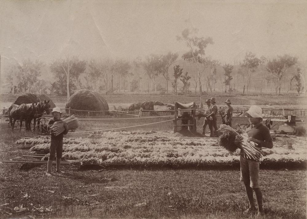 Sorgum StateLibQld_1_252421_Harvesting_a_sorghum_crop_near_Ipswich_ca._1900.jpg