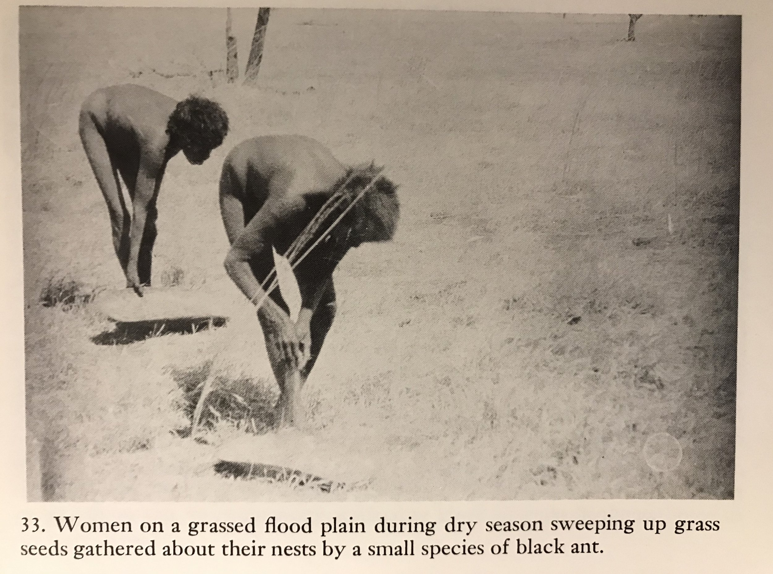 - These photographs are from one of Mr Pascoe's favourite sources, Norman Tindale's, Aboriginal Tribes of Australia, UCP 1974, B&W plates section.In this photograph we see the Aboriginal women, so short of grass seeds that they are reduced to even gleaning the seeds that have been gathered by ants around their nests. No 'vast Aboriginal agricultural cereal estates' to see here Mr Pascoe?