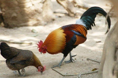 - But other hunter-gatherer societies in nearby New Guinea and SE Asia did domesticate birds.The Red jungle fowl (Gallus gallus or Gallus bankiva) is the most commonly found wild species in the world today and is considered the main ancestor of the domestic chicken.Why would our Asian neighbours domesticate the Red Jungle Fowl, but the Aborigines didn't domesticate any of our ducks, geese, brush turkeys or even emus?Because they were a nomadic, hunter- gatherer society, not a settled agrarian society. This is NOT to say that they were inferior, but just that to deal with the conditions on this continent, the Aborigines made the decision (consciously or subconsciously) to follow a hunter gatherer lifestyle.