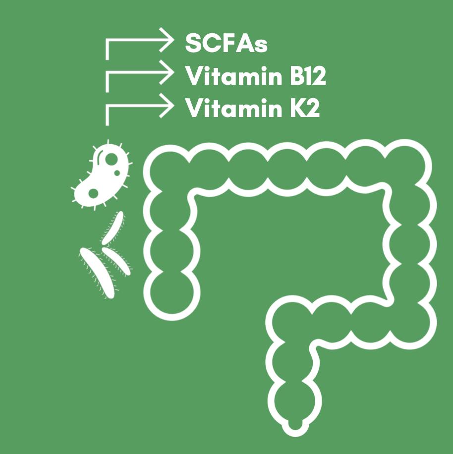 microbes produce butyric acid, k2, b12