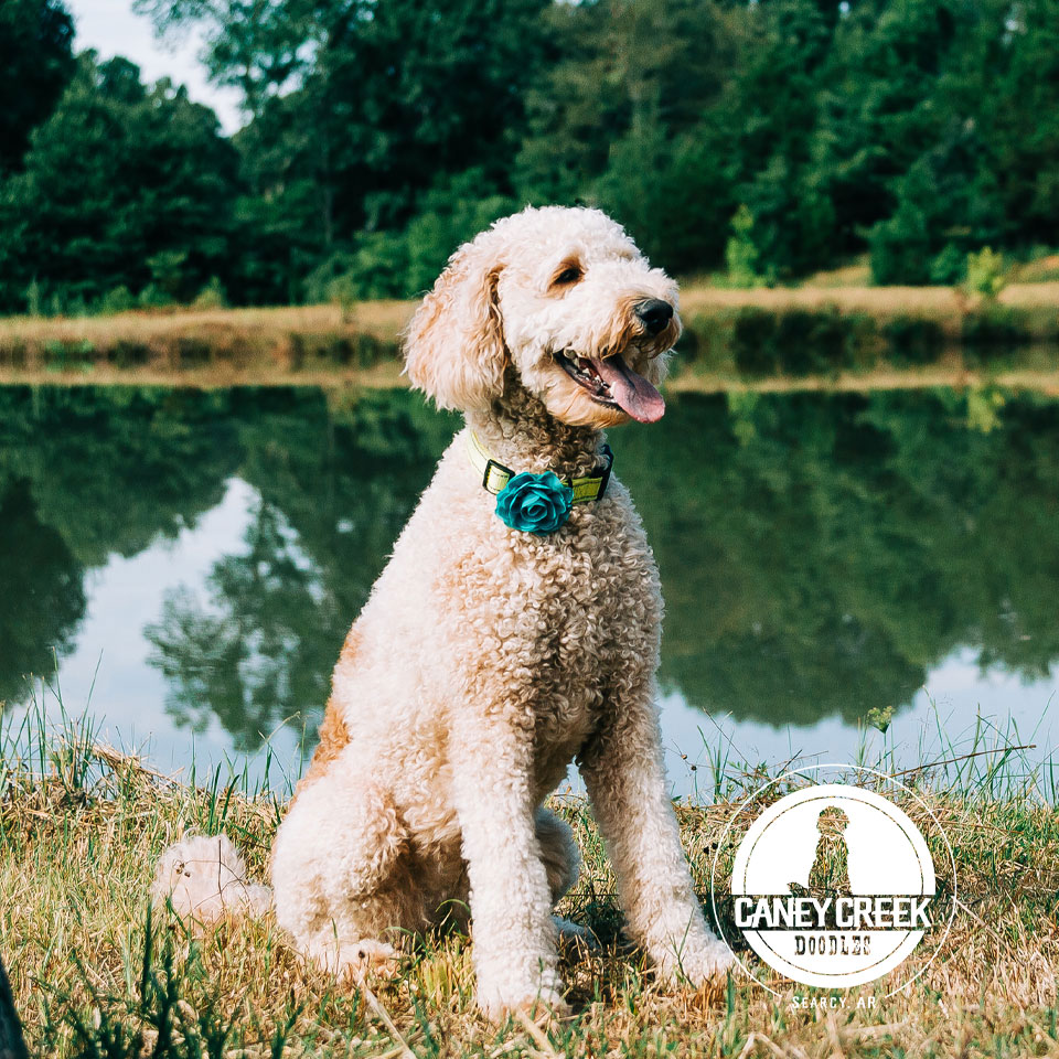 our-services2-caney-creek-doodles-homepage.jpg