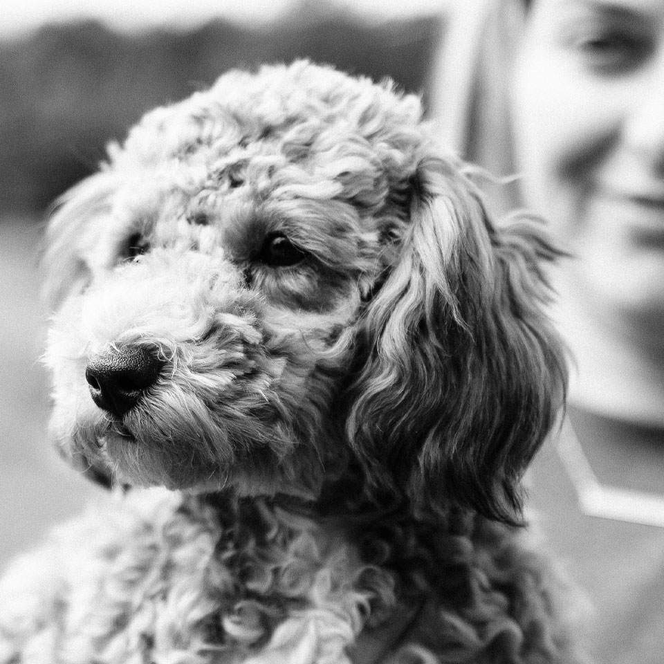 gallery-mallory-poodle-960x960.jpg