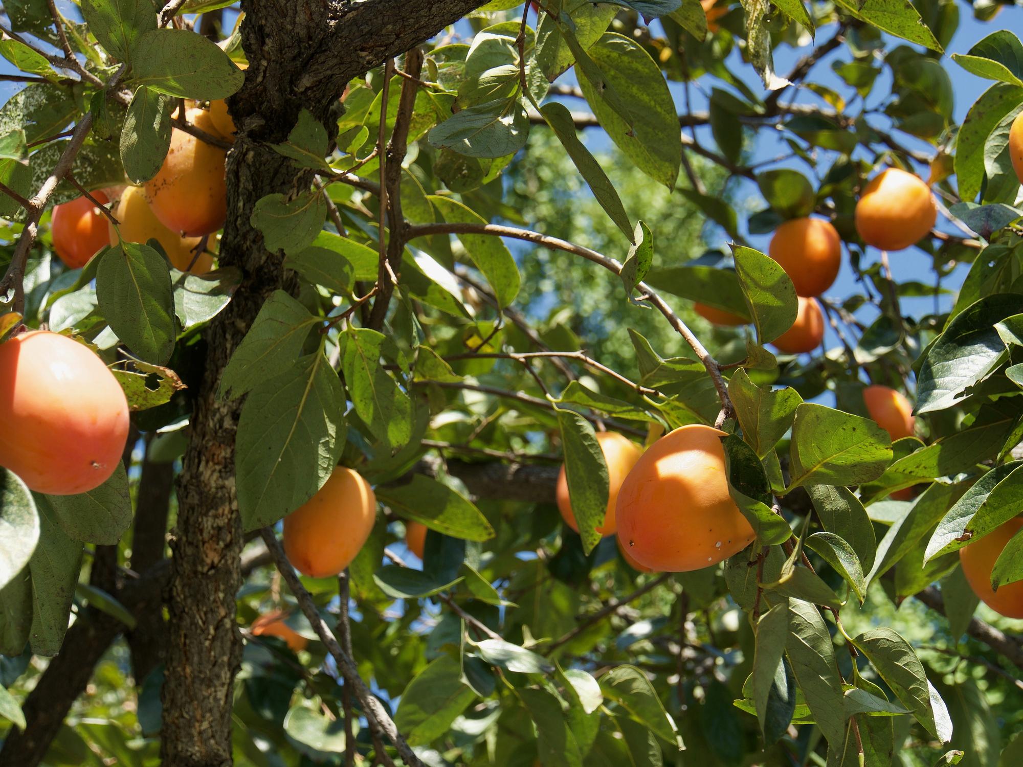 persimmon_leaves.jpg