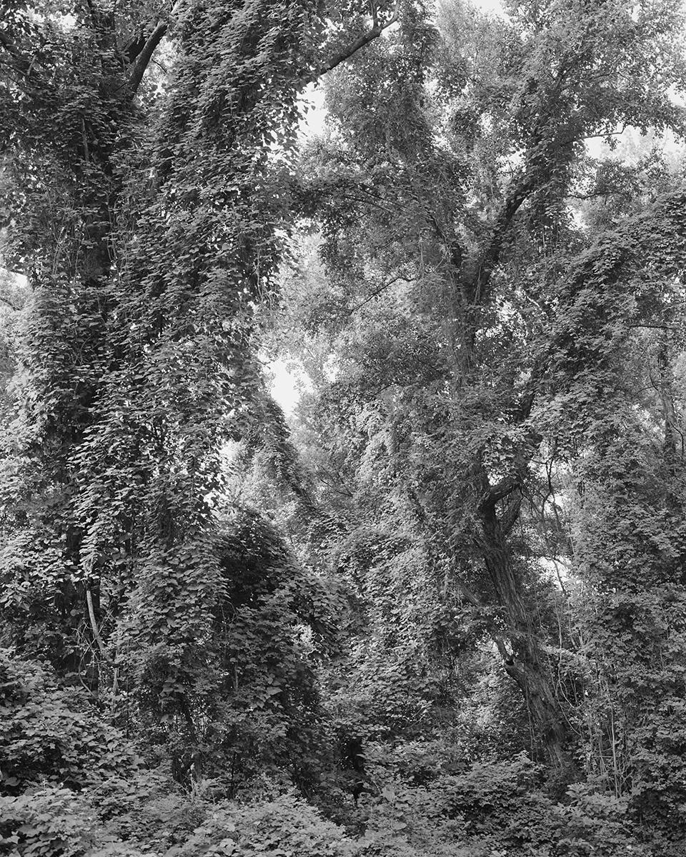 Allison Beondé, Invasive Pines.jpg
