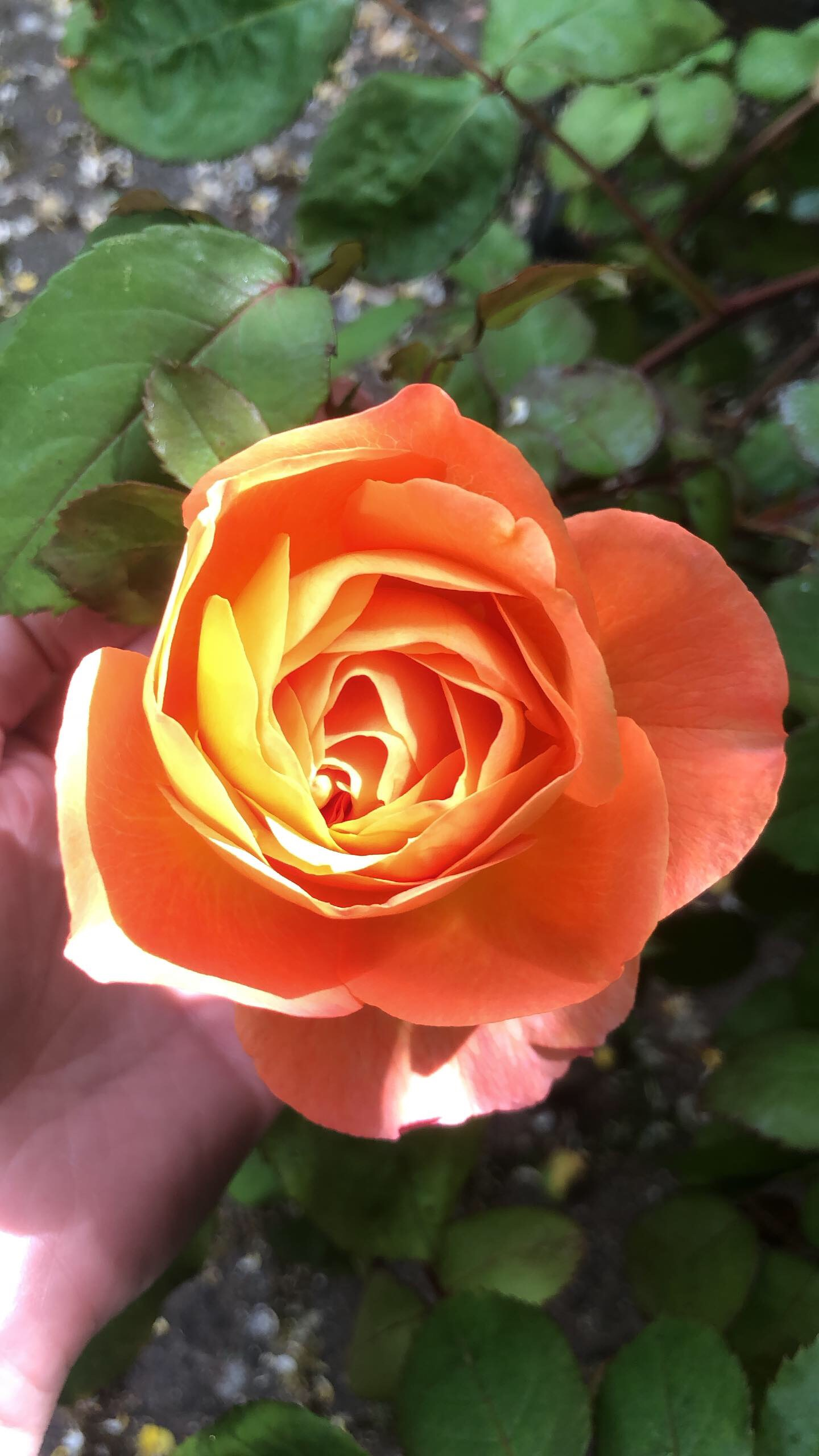 Sunrise Rose.jpg