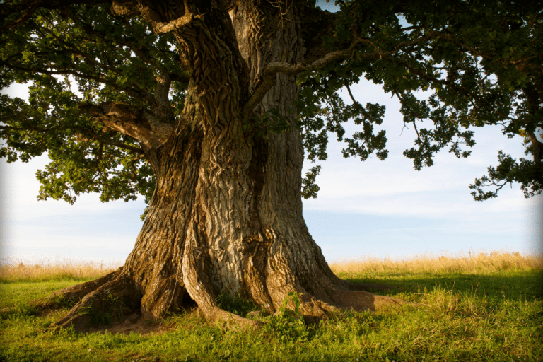 oak-tree-1024x683.png