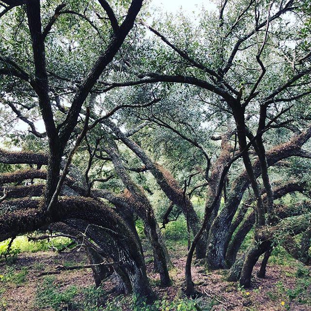 An Amazing Native Multiple Leader Ranch Oak. #ranchoak #perkinstree #florida #oaktrees #trees