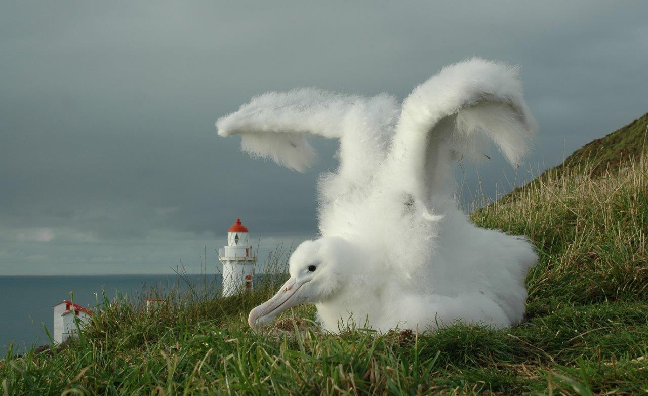 E Royal Albatross chick at Taiaroa Head.jpg