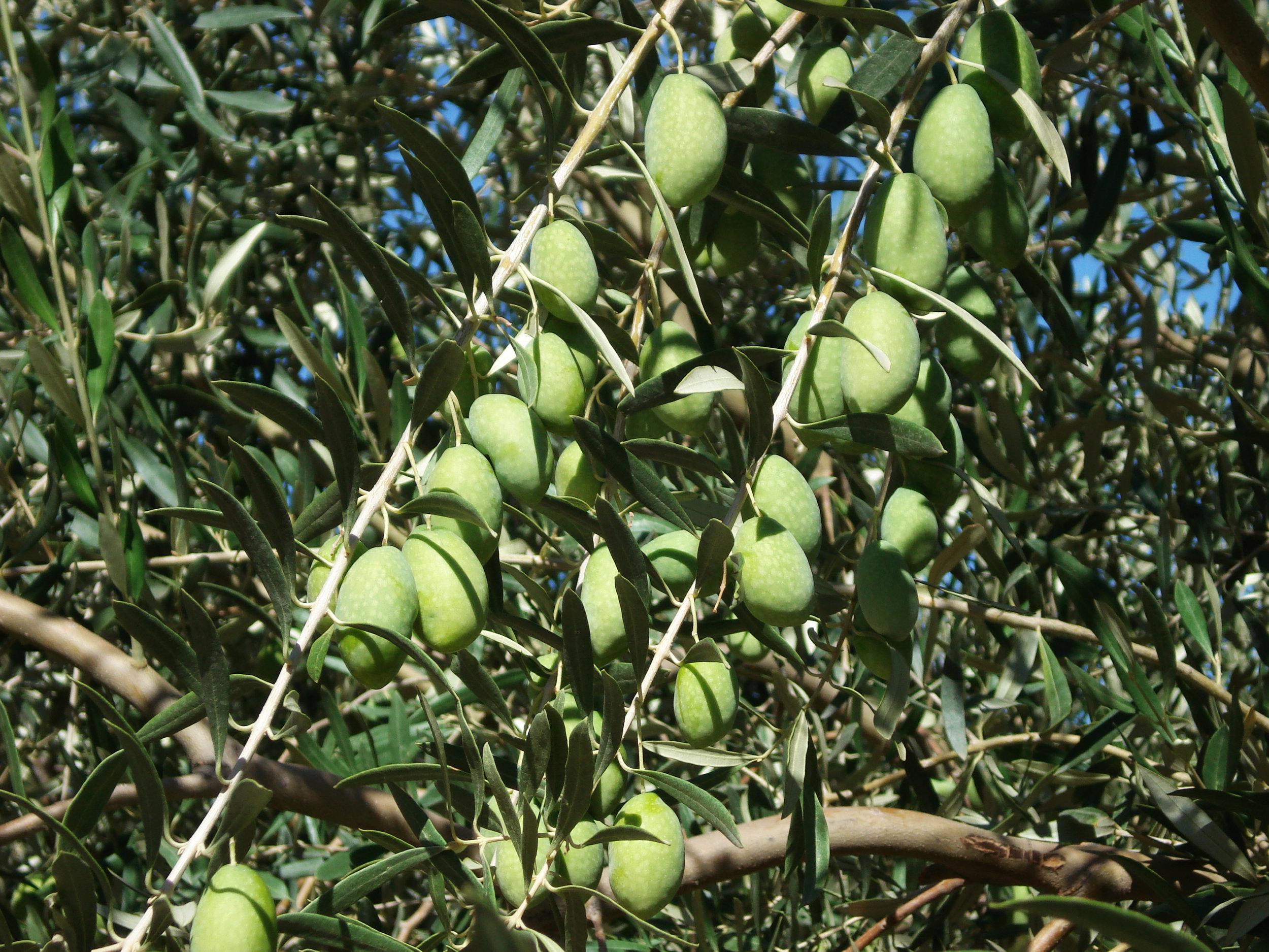 the olive.jpg