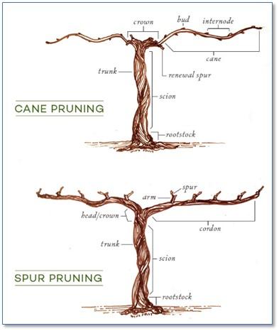 pruning-diagram.jpg