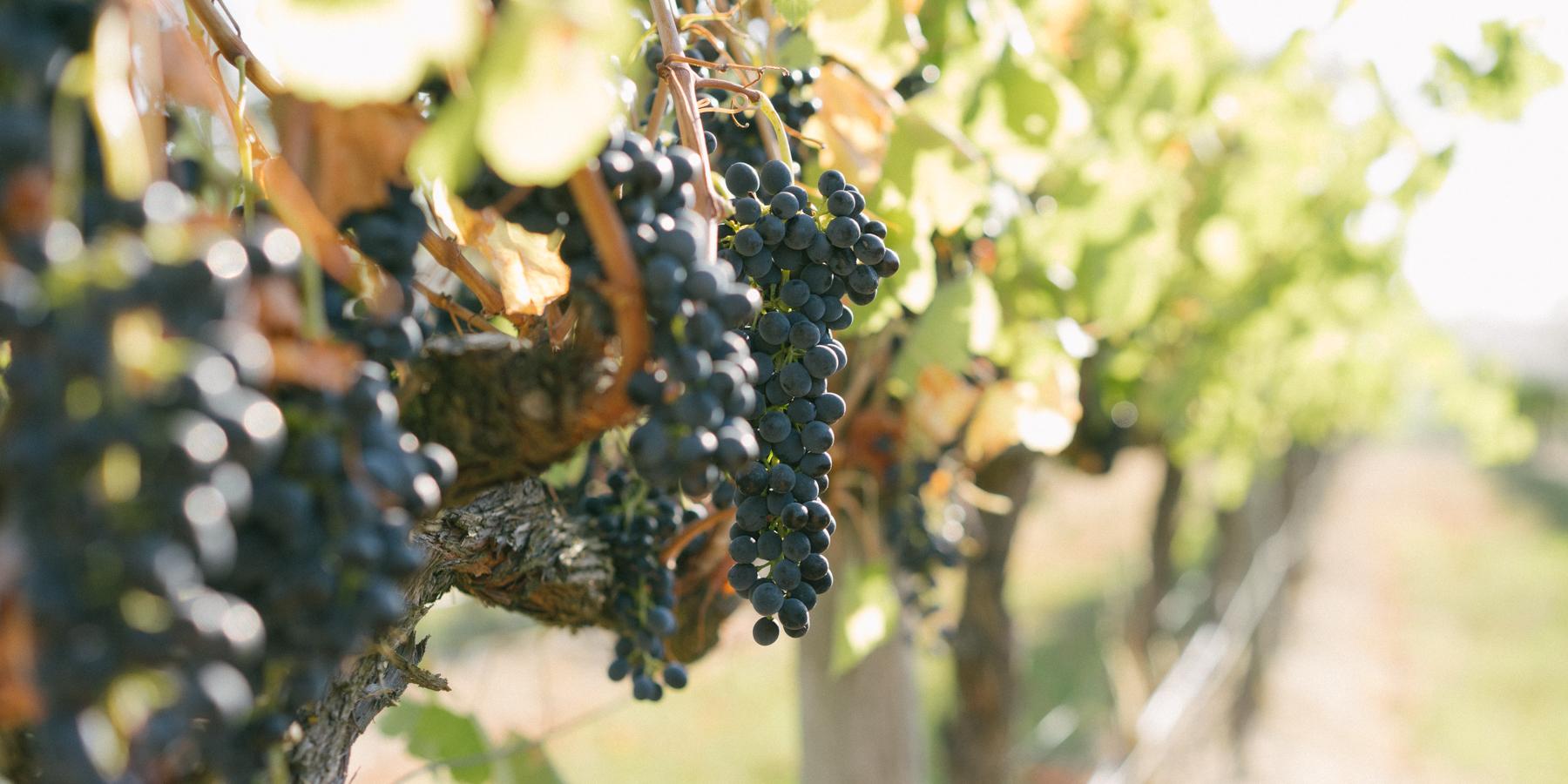 chirping-bird-shiraz-grapes-bright.jpg