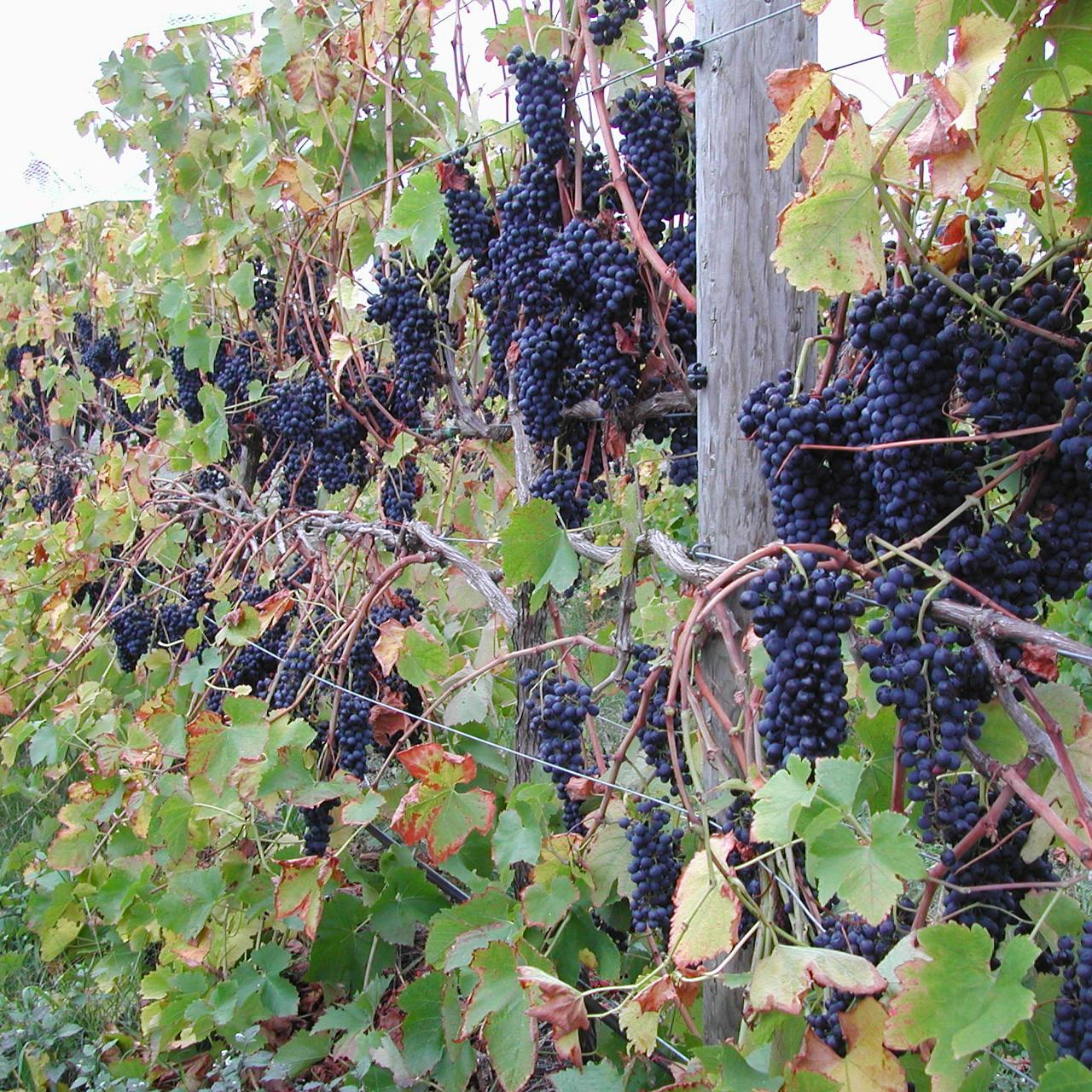 Shiraz grapes, 2003 vintage