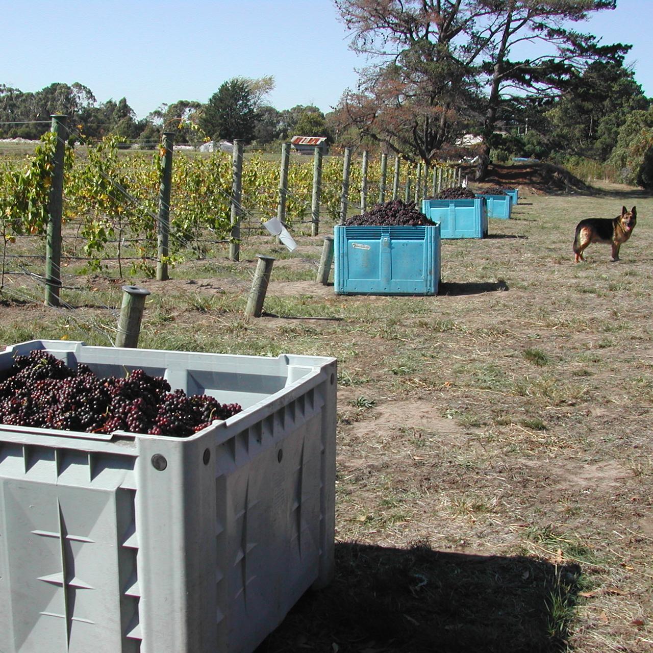 Muscat grapes, 2003 vintage