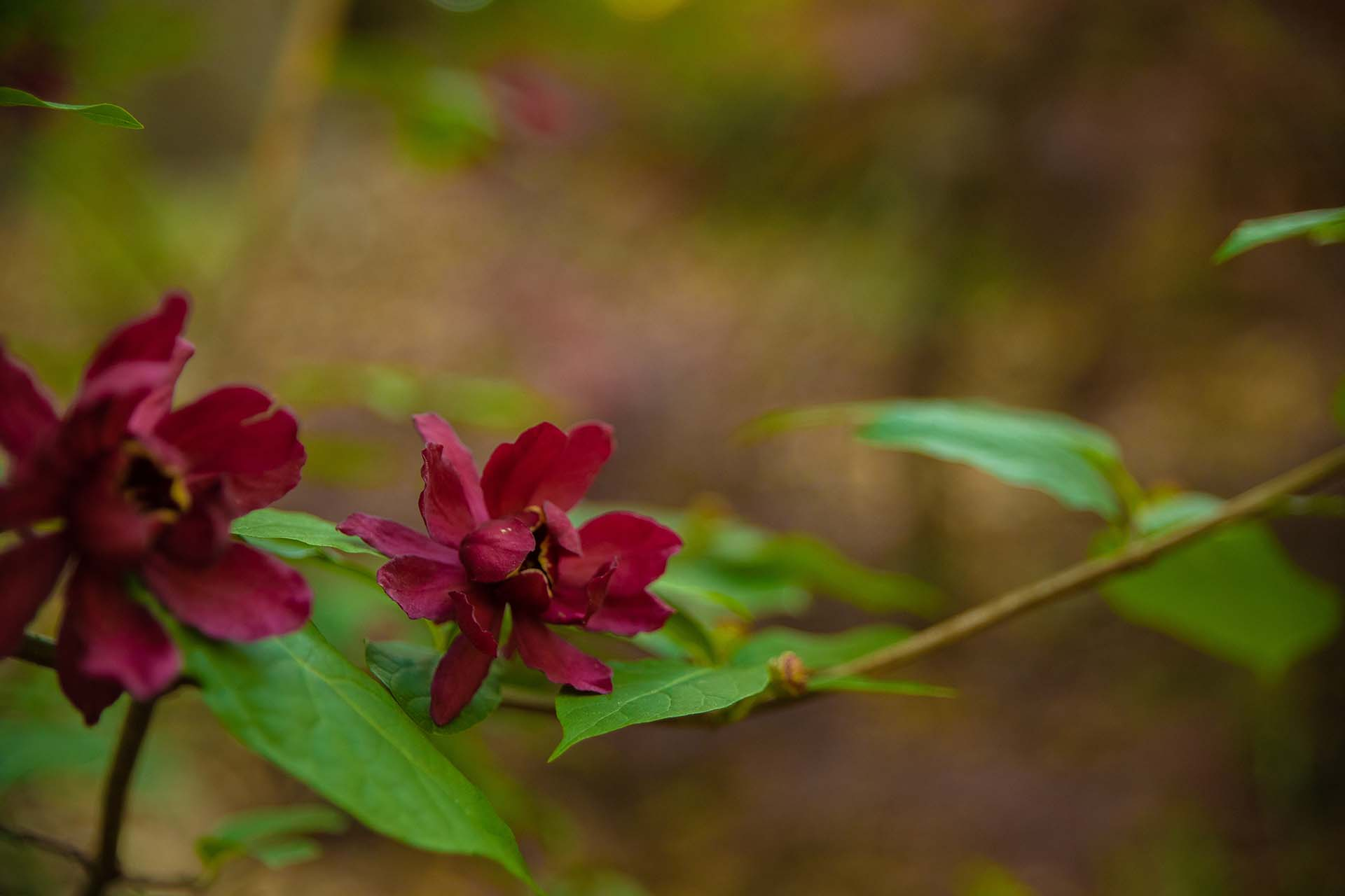 Carolina Sweetshrub.jpg