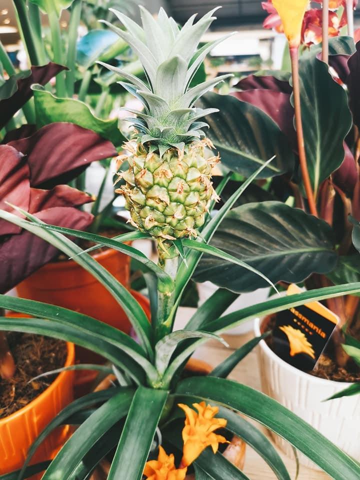 pineapple tree.jpg