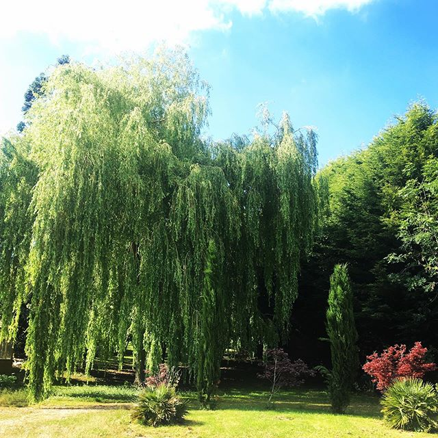 Taking a break from distilling and greeted by this lovely weather ☀️🍹#summer #gin #ginandtonic #alcohol #willowtrees #blueskies