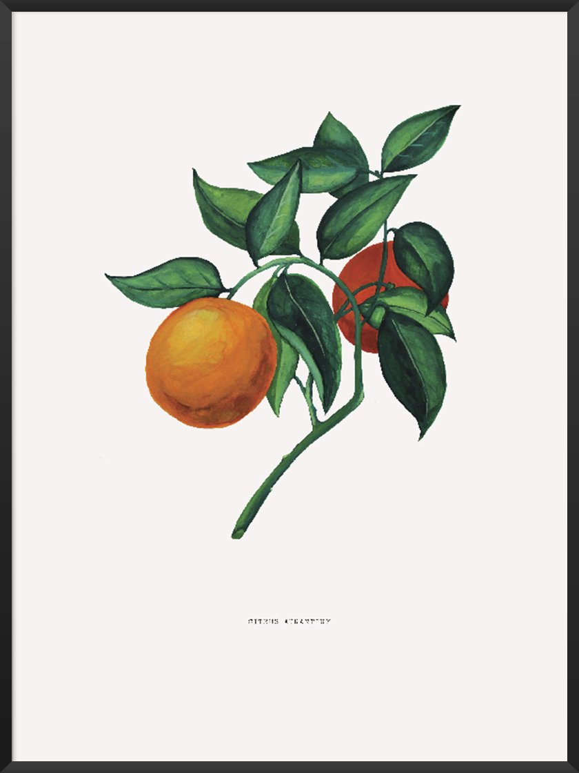 Style a poster. Image of Citrus aurantium poster.jpg