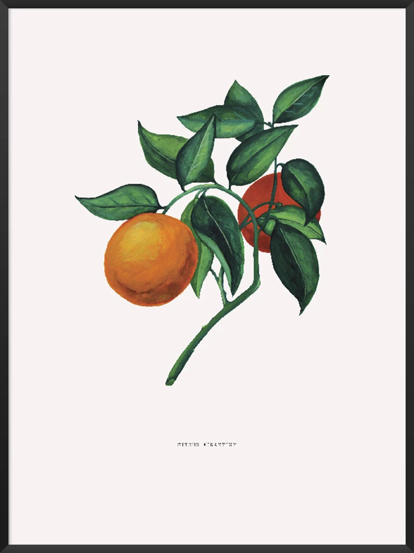 Foods that will save the planet article. Image of CITRUS AURANTIUM poster