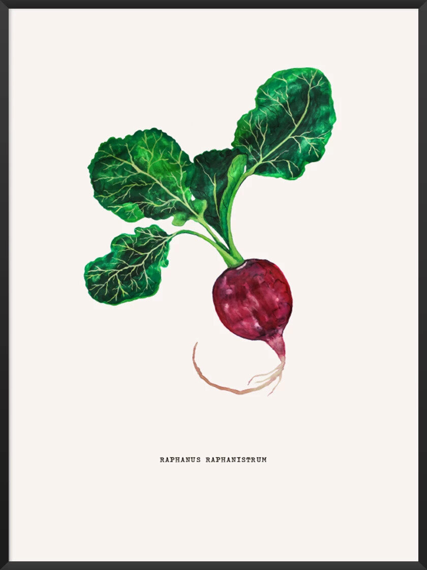 Foods that will save the planet article. Image of Vintage Botanical radish poster