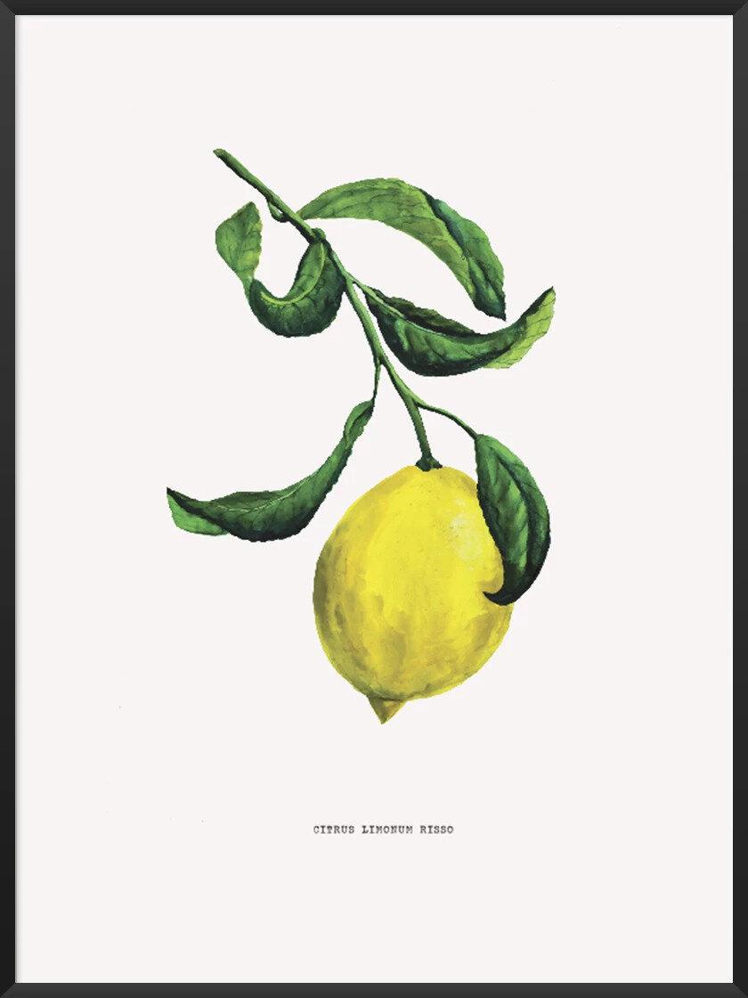 Scandinavian Kitchen article. Image of Citrus Limonum Risso