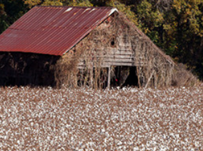 South Carolina Cotton Trail - Beginning at Bishopville's South Carolina Cotton Museum and running through the Pee Dee Country, this trail gives you a better understanding of the role cotton has played in this region. In October every year, the Pee Dee's Lee County celebrates the harvest with the annual Cotton Festival.