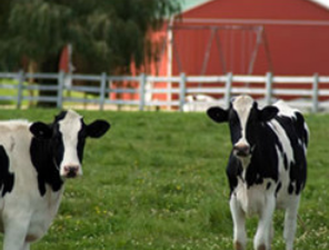 Happy Cow Creamery - This on-the-farm milk bottling operation gets its delicious milk right from its dairy cows. Come see how it goes from cow to the grocer. And stop by the store to try some of their amazing chocolate and strawberry milks. There is also homemade ice cream available.