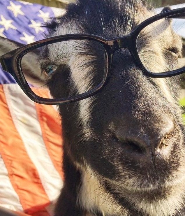 """Education - Goat yoga participants frequently mention their surprise about the calming effects that goats bring them, and the emotional impact of the sessions (not to mention the 'goat happy hour' mingling that takes place before and after the sessions).However, anecdotes don't suffice for county planners attempting to plug the activity into existing definitions of traditional farm use, or the ordinance and statute surrounding those definitions. Similarly, while there is ample evidence touting the beneficial mental health effects of horses and companion animals, there is no scientific research substantiating the specific beneficial effects of 'goat therapy.'TGYF is therefore working to research the effects of goat therapy, the health risks and benefits of goat exposure, and the link of goat therapy to existing definitions of farm use in existing ordinance and statute, allowing goat yoga to thrive nationally*!* Environ Health Perspect. """"Nature Contact and Human Health: A Research Agenda."""" 2017 Jul; 125(7): 075001.Published online 2017 Jul 31. doi: 10.1289/EHP1663"""