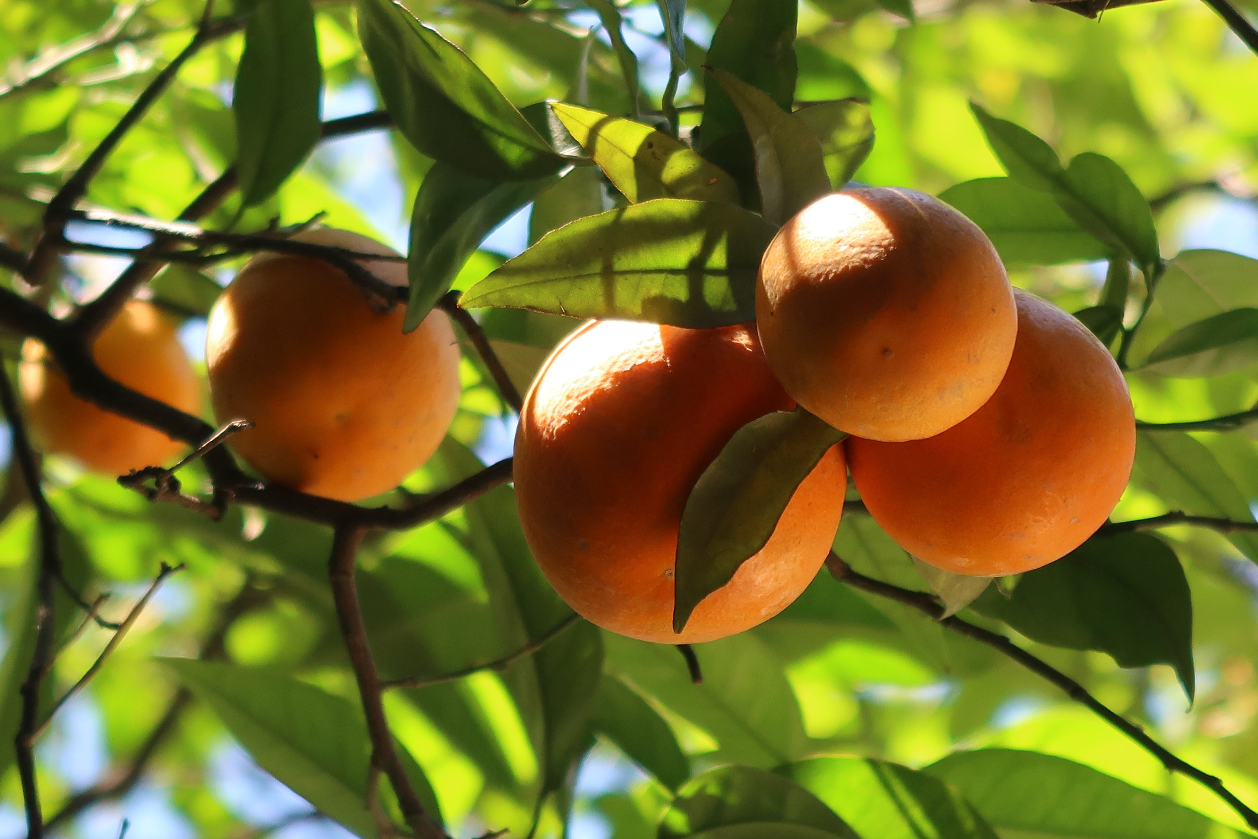 A close up of ripe oranges hanging from their tree branches.