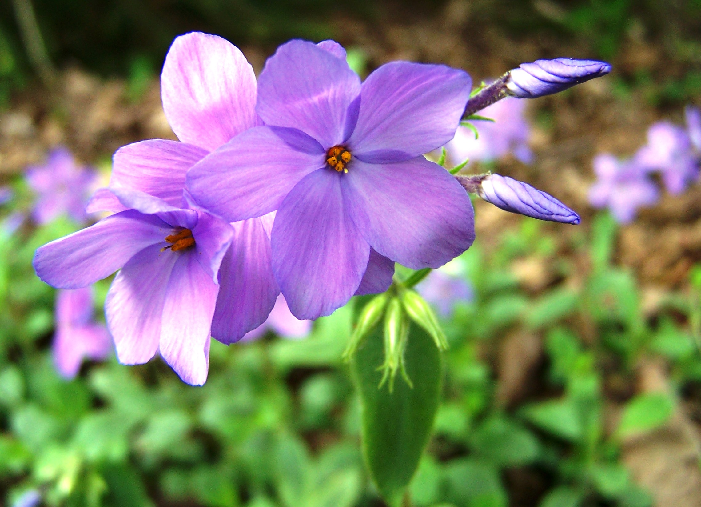 Phlox stolonifera flowers and buds.jpg