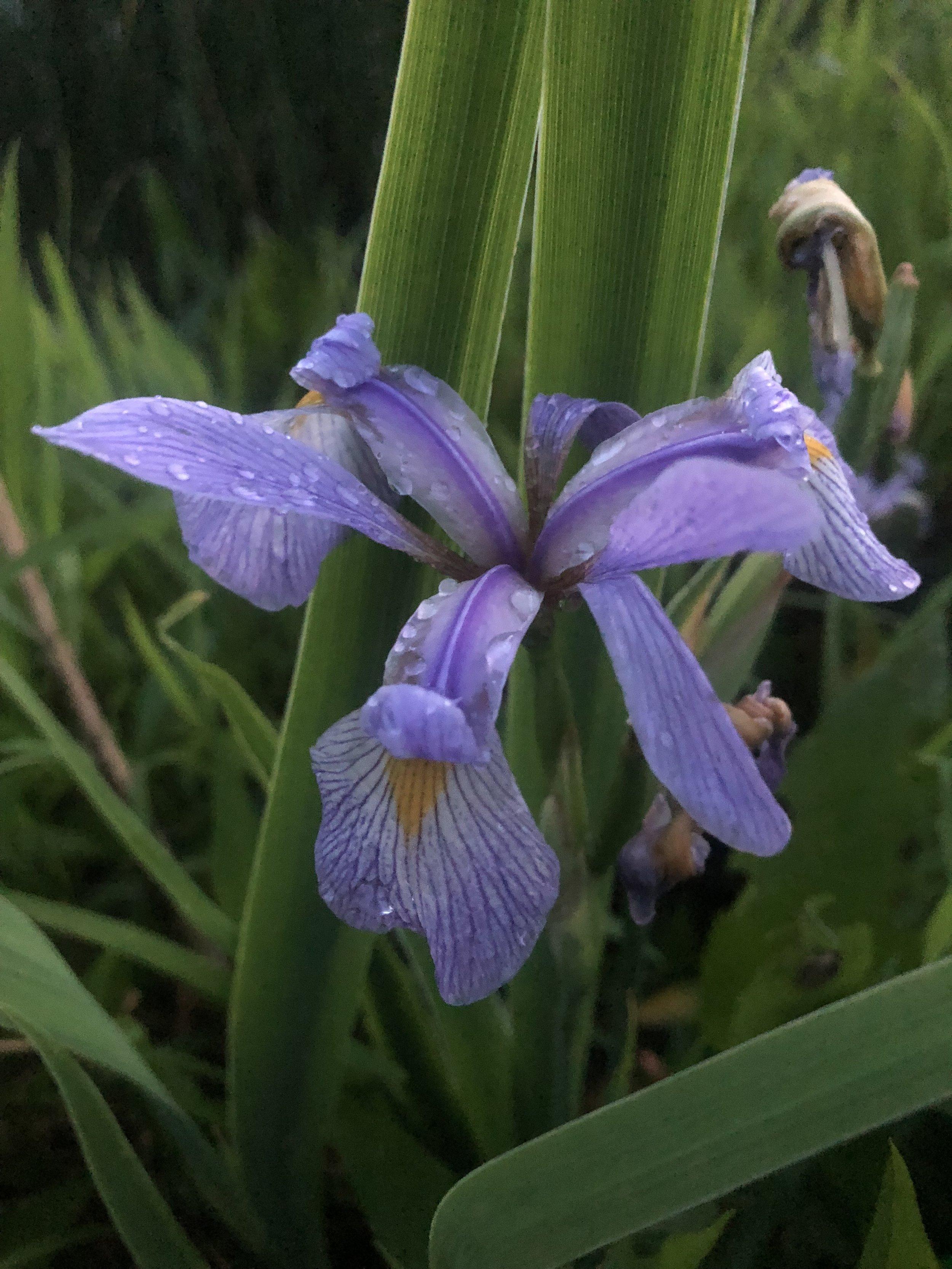Blue Flag Iris ( Iris Versicolor )