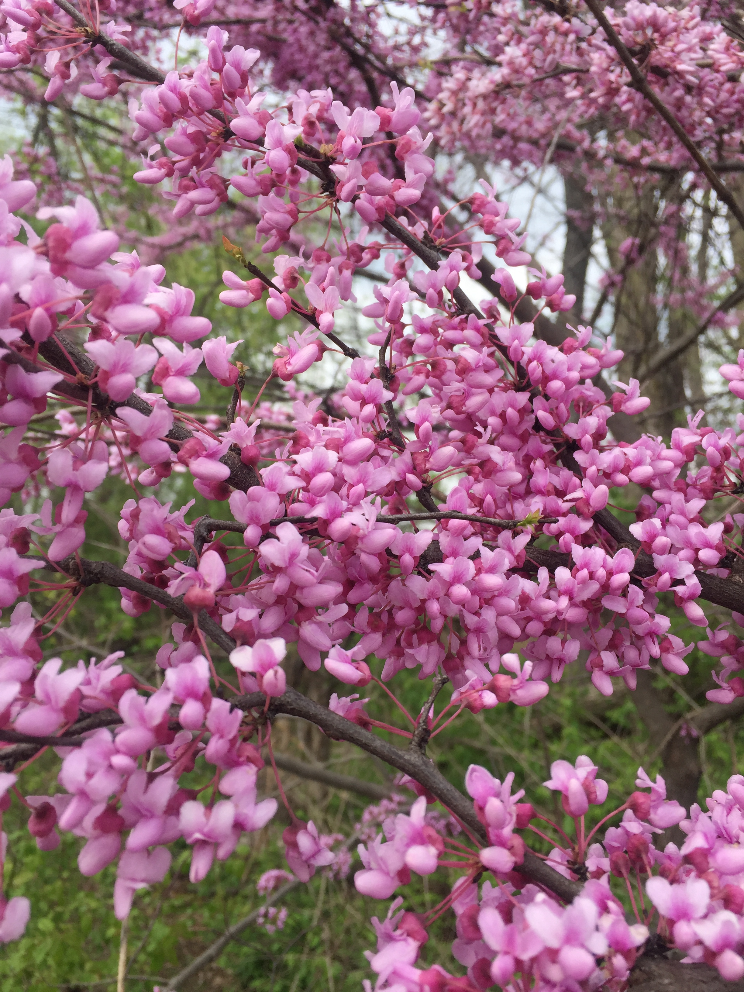 Red Bud ( Cercis canadensis)