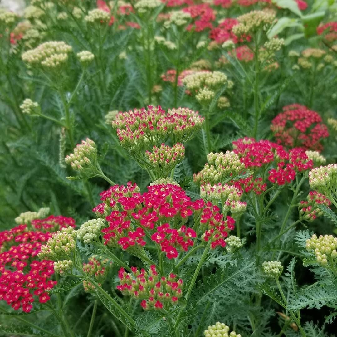 """New Vintage Red"" Yarrow ( Achillea millefolium 'Balvinred' )"