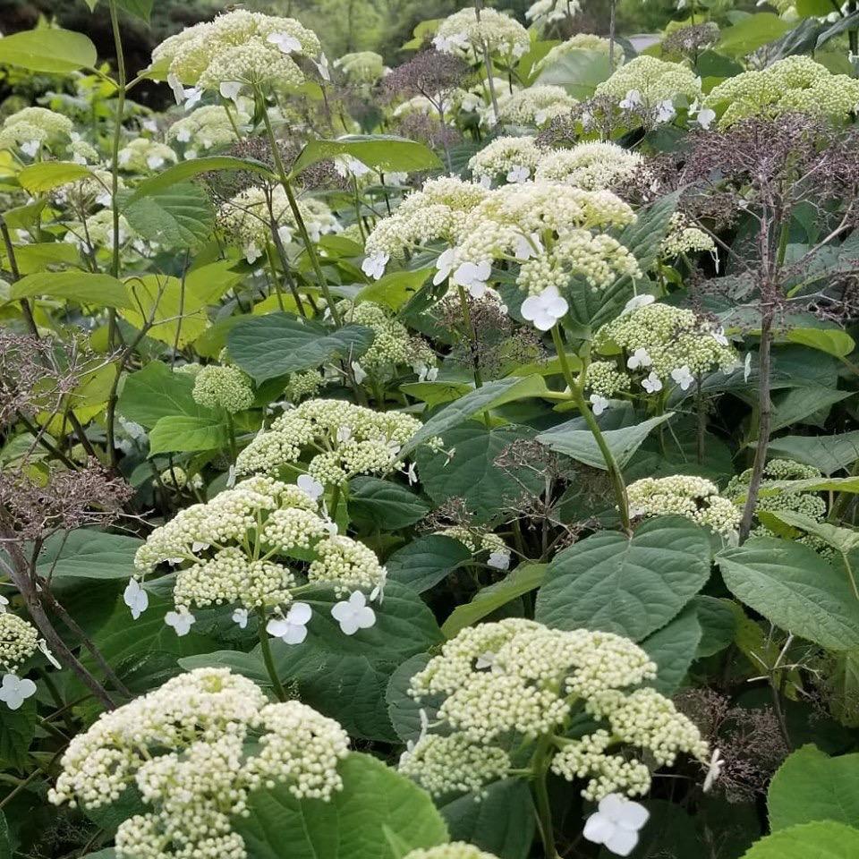 Smooth Hydrangea ( Hydrangea arborescens )