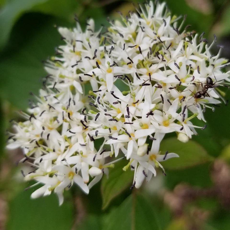 Red Twig Dogwood ( Cornus sericea )
