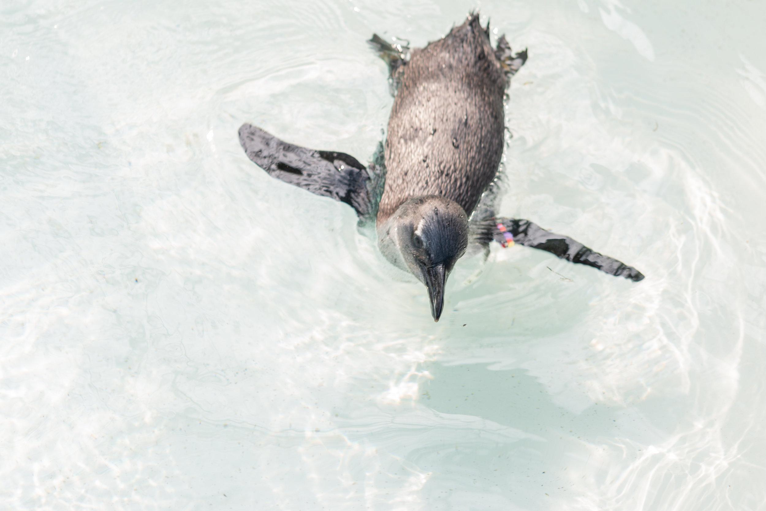 Little Blue Penguin - $10/month